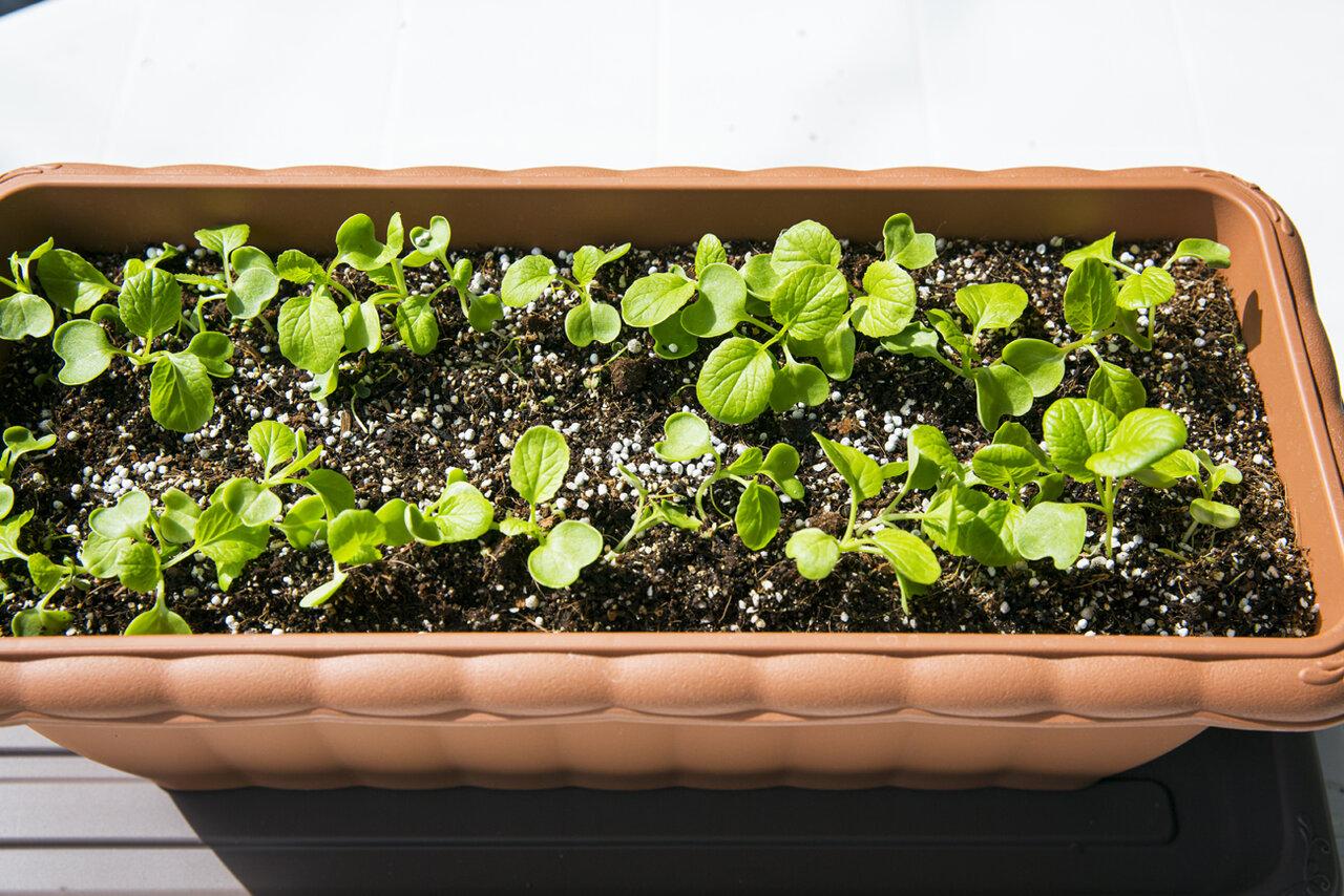 「プランターひとつ」親子でベランダ家庭菜園 コマツナを無農薬で育てよう