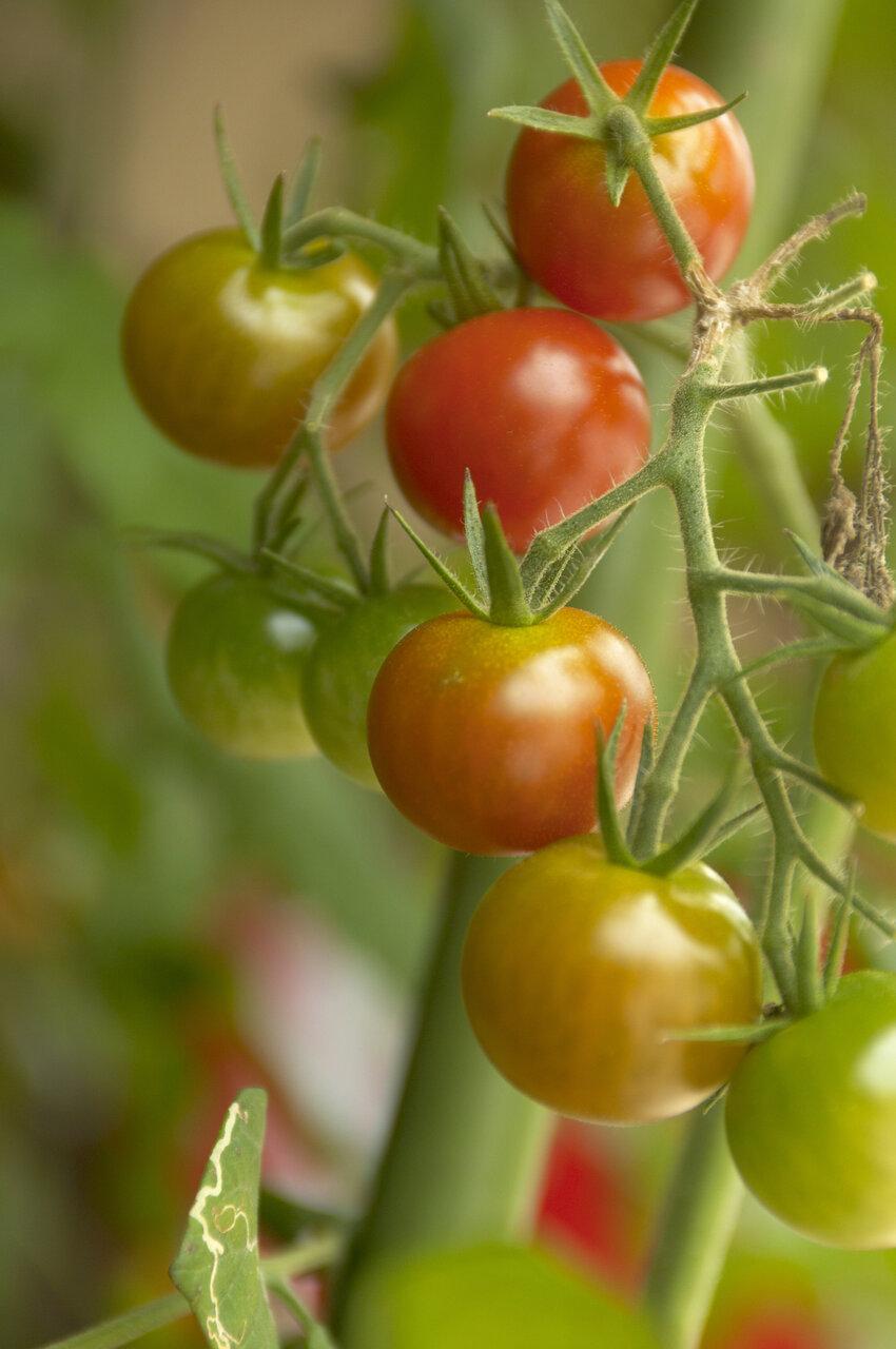 「プランターひとつ」親子でベランダ菜園 ミニトマトを育てて感じる自然の力