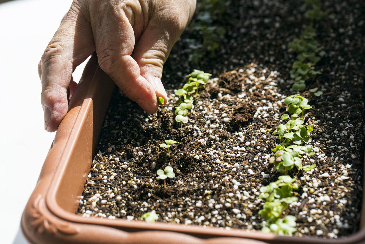間引いた芽も捨てずに。サラダなどのトッピングにしても。<br> 撮影 深澤慎平