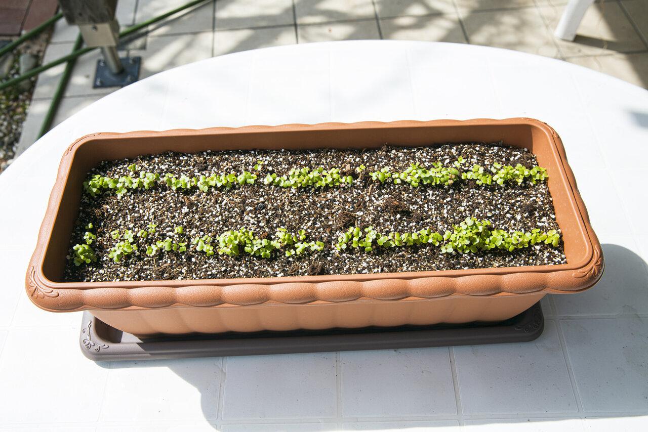 発芽したコマツナの芽。<br> 撮影 深澤慎平