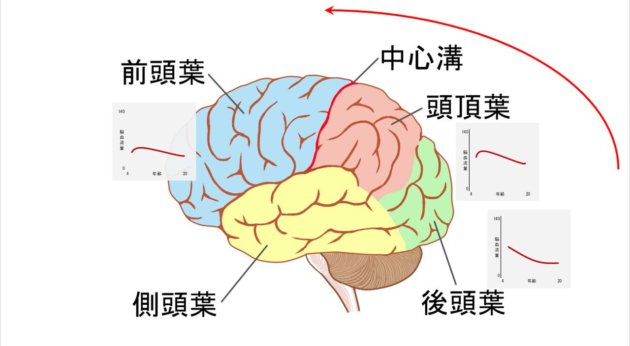 """<span class=""""bold"""">脳の発達のピークは、0~4歳ごろ後頭葉から始まり、3~5歳ごろに頭頂葉、10代ごろに前頭葉へ及ぶ。脳は後ろから前へと発達していくのが特徴。  </span>資料提供:細田千尋"""