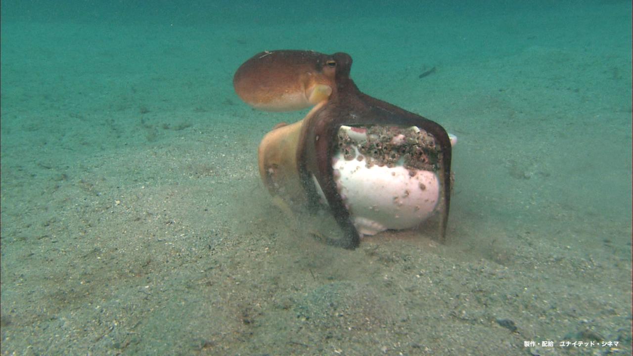 さかなクンが小学生になって夢中になったというタコ。こちらは6月公開の映画『驚き!海の生きもの超伝説 劇場版ダーウィンが来た!』に出てくるメジロダコ。