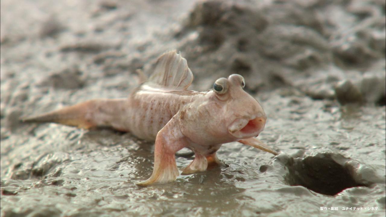 さかなクンがおすすめしてくれたトビハゼ。映画『驚き!海の生きもの超伝説 劇場版ダーウィンが来た!』では、世界中の海の生きものたちを約60種も観ることができる。<br>