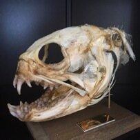 オオカミウオの頭骨。<br>