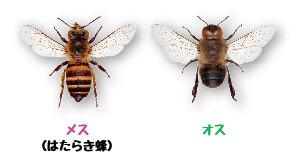 ミツバチ<br>