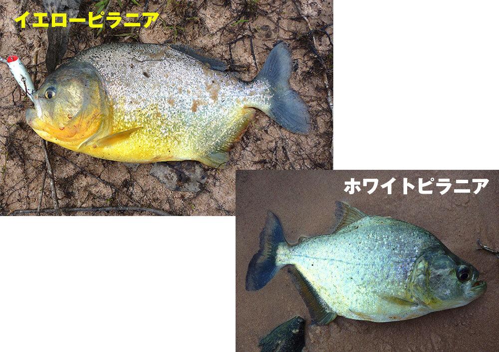 (左上)通称ダイヤモンドイエローピラニア。肉厚で力が強い。そのうえ、大きな群れで獲物をおそう。ブラジル北部にて撮影。<br> (右下)ホワイトピラニアとよばれる、顔が小さな銀色のピラニア。ブラジル北部にて撮影。