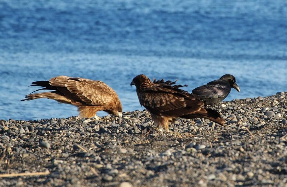 鳥が集まっているのもミズウオが流れついているサイン。