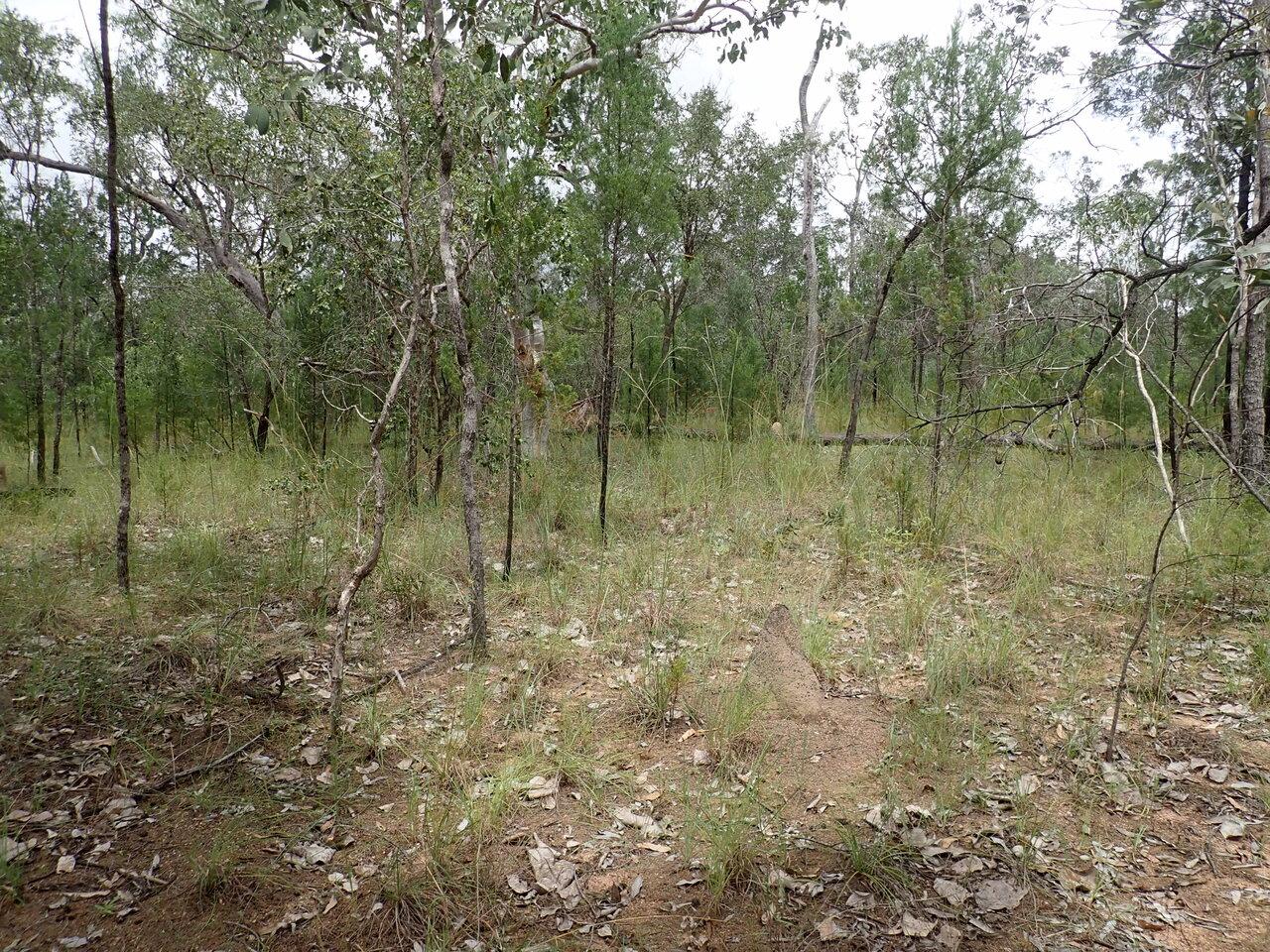 ヨロイモグラゴキブリがくらす林。