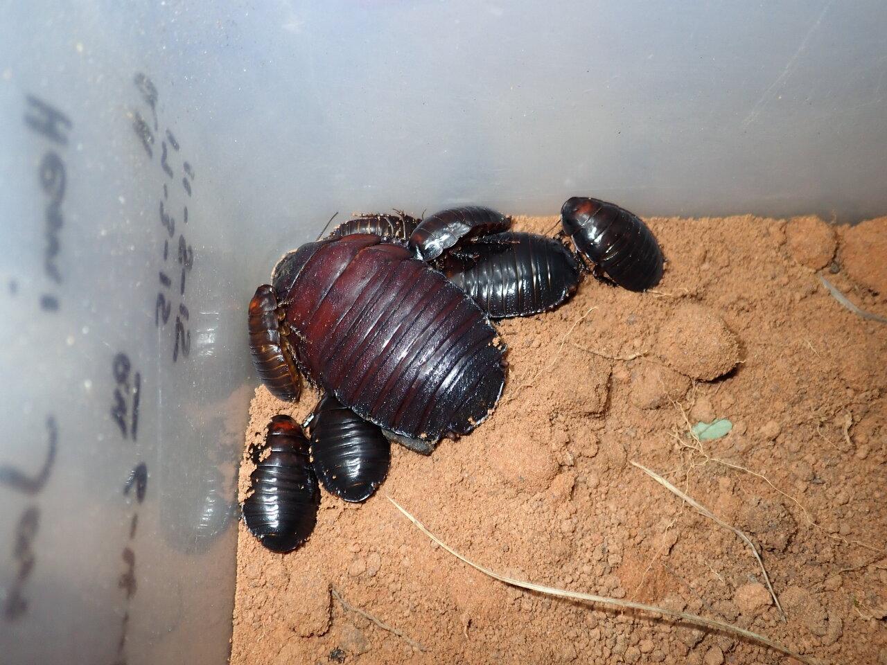 ヨロイモグラゴキブリは子育てをすることでも知られる。