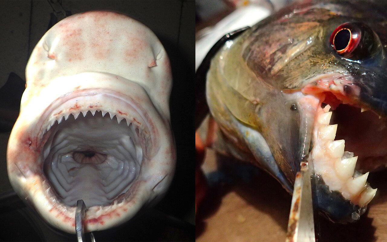 サメやピラニアなど肉をかみ切るタイプの魚の口には三角形ではばの広い歯がすきまなく並んでいる。<br>
