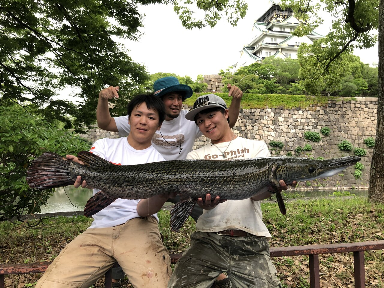 ちかごろは日本中にあらわれるアリゲーターガー。なんと大阪城のお堀でも捕まっている。<br>