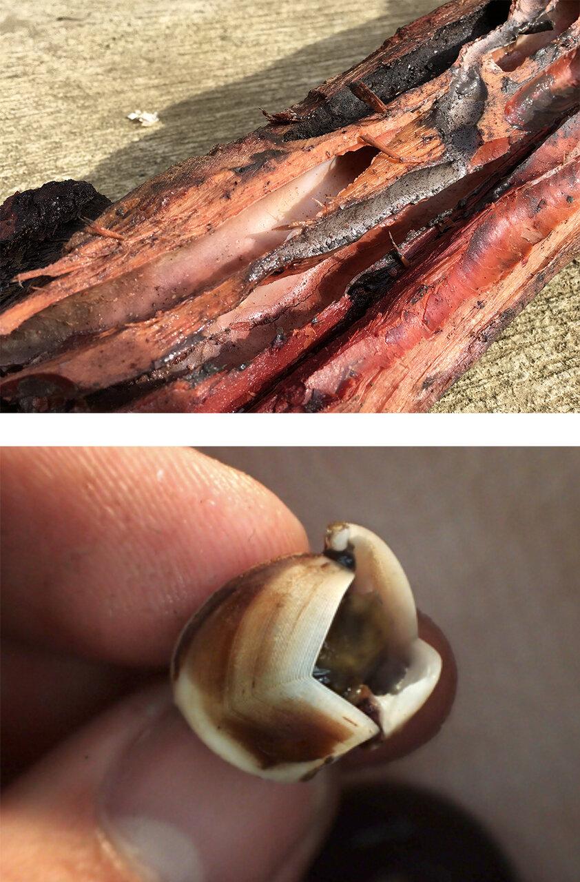 (上)フナクイムシがひそんでいたトンネル。<br> (下)これ、実は貝がら!身をまもるためでなく木を掘って食べるために使う。