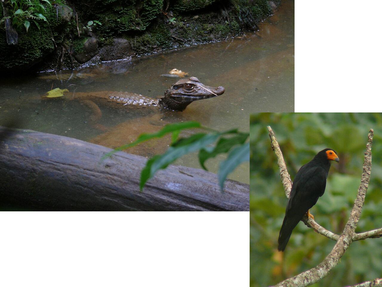 エクアドルで見つけたさまざまな生きもの<br> (左:メガネカイマン、右:キノドカラカラ)