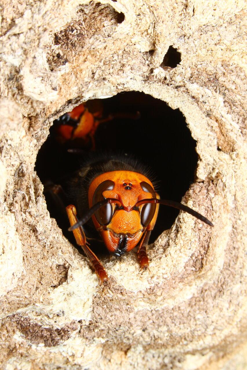 写真:コガタスズメバチ<br> <br>