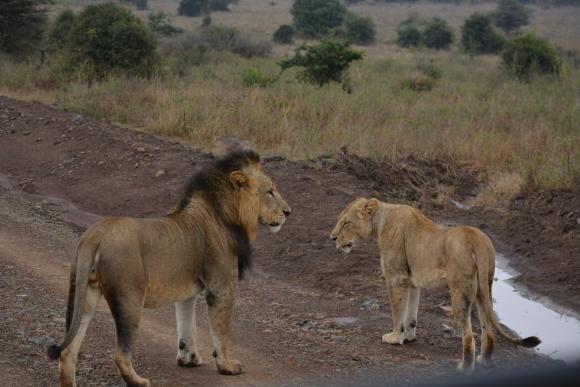 """サファリツアーの中で、もっとも人気が高いライオン。ケニア・ナイロビ国立公園へ1週間以上、通っても会えないときもあるという。※写真はイメージ  <small class=""""font-small"""">写真提供:エイチ・アイ・エス</small>"""