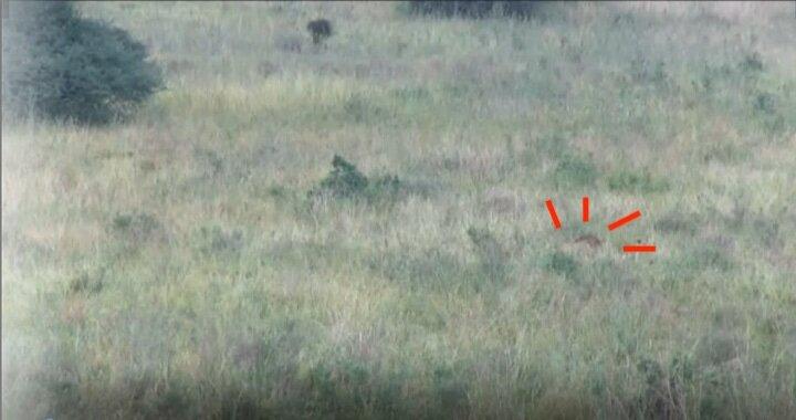 画面右、草の間からうっすら見える、濃いたてがみが分かるでしょうか?
