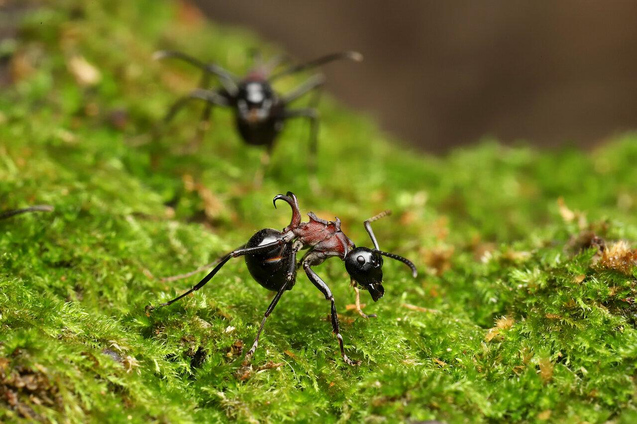 """赤褐色のむねが特徴的なトゲアリの働きアリ。木の""""うろ(木が腐ってできた穴)""""に巣を作るそうです。  <small class=""""font-small"""">写真提供:島田拓</small>"""