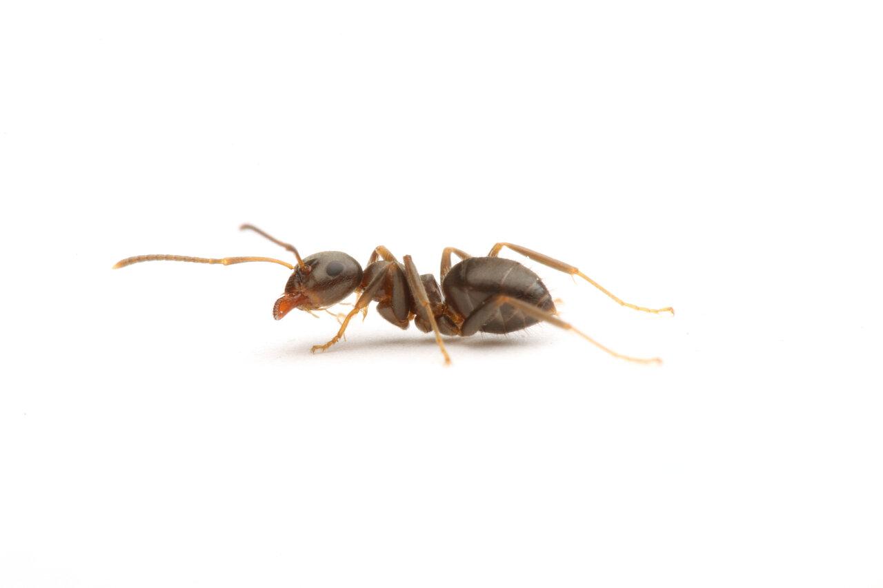 トビイロケアリの働きアリ。大きさや腹部のふくらみなど、女王アリと見比べると全く違うことが分かります。  写真提供:島田拓