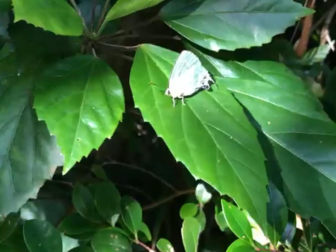 座間味島に精通するガイド・大坪さんが大興奮するような超希少なチョウと出会えました。