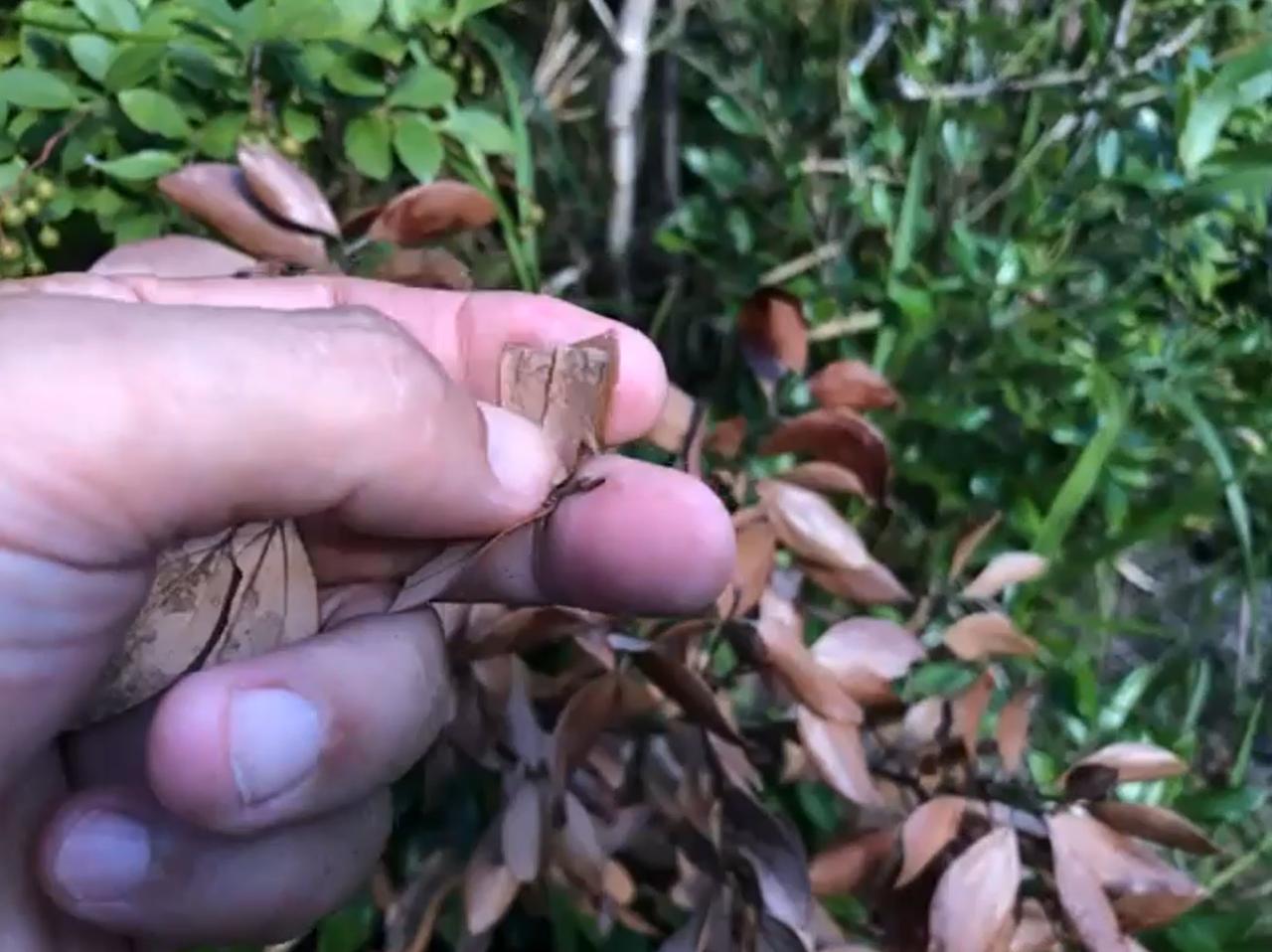 葉を折って、軽くもみもみ。「シナモンのような、いい香りがします」と大坪さん。